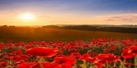 anzac_day_poppies